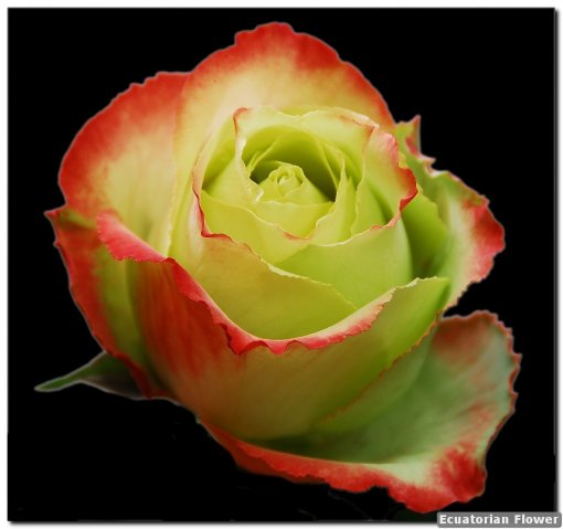 jl fresh wholesale flowers roses
